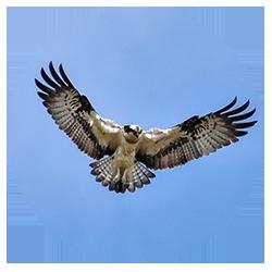 visarend-bekijken-via-webcam